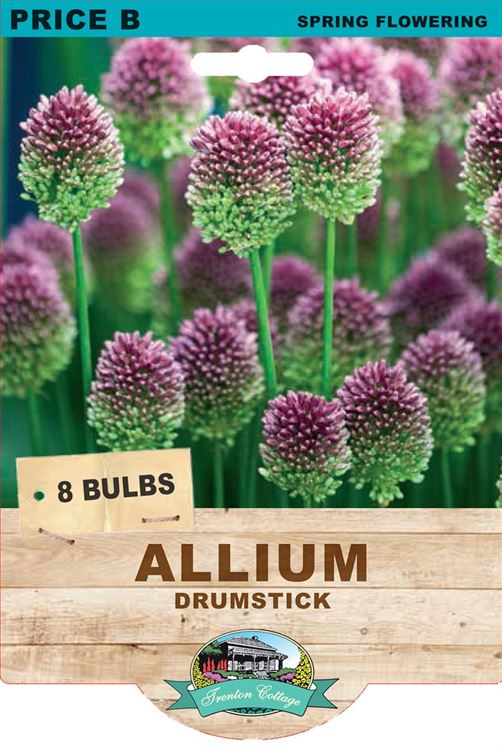 Picture of ALLIUM - DRUMSTICK