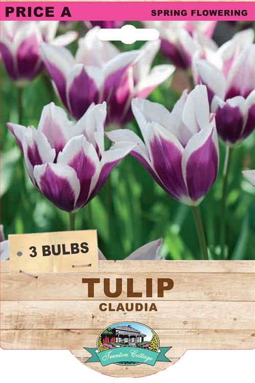 Picture of TULIP - CLAUDIA