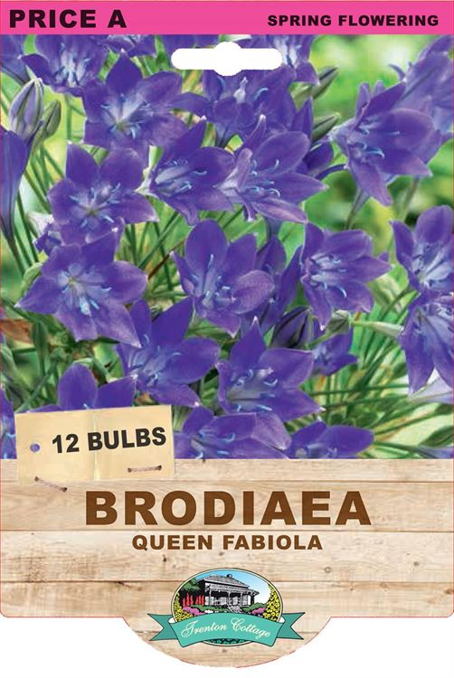 Picture of BRODIAEA - QUEEN FABIOLA