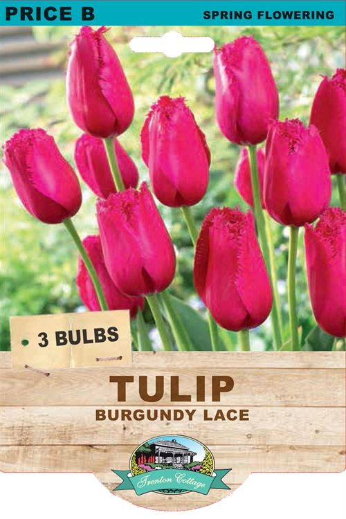 Picture of TULIP - BURGUNDY LACE