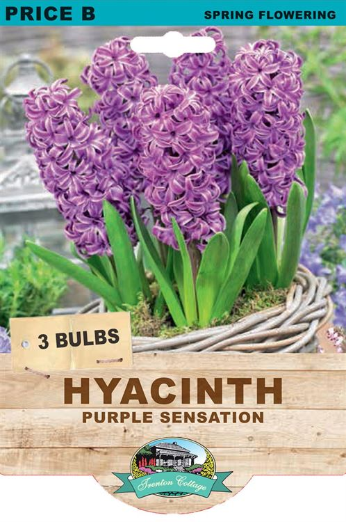 Picture of HYACINTH - PURPLE SENSATION