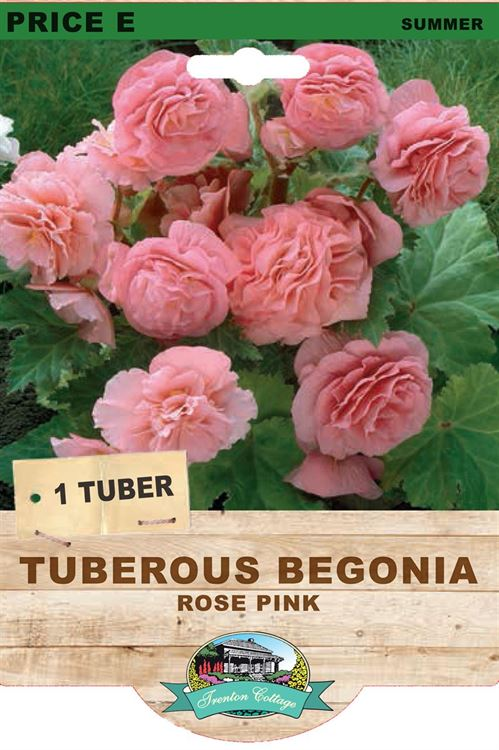 Picture of TUBEROUS BEGONIA - ROSE PINK