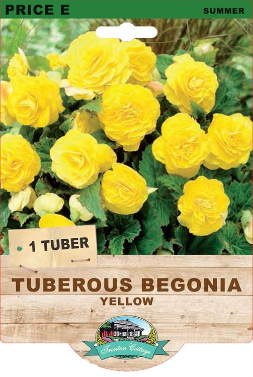 Picture of TUBEROUS BEGONIA - YELLOW