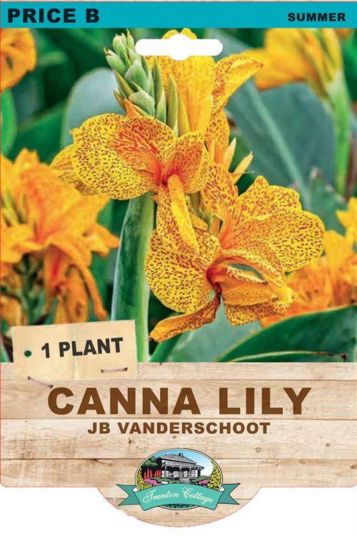 Picture of CANNA LILY - JB VAN DER SCHOOT
