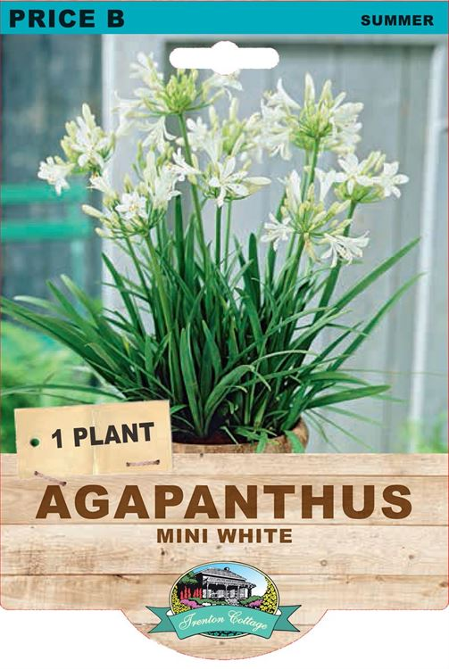 Picture of AGAPANTHUS - MINI WHITE