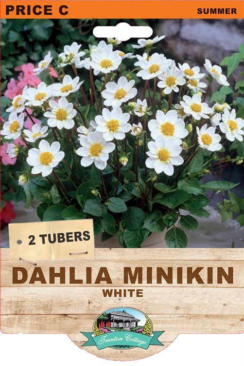Picture of DAHLIA MINIKIN - WHITE