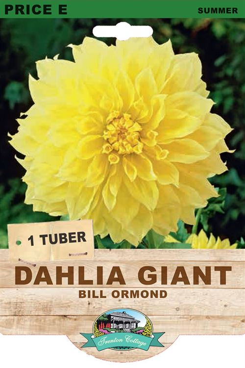 Picture of DAHLIA GIANT - BILL ORMOND