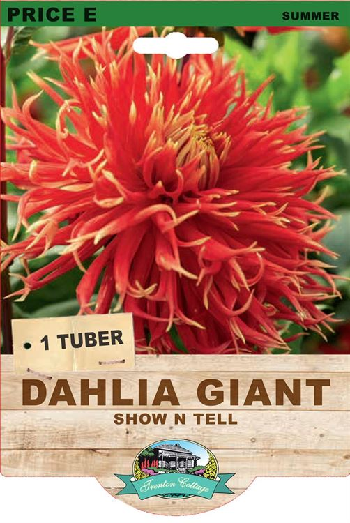 Picture of DAHLIA GIANT - SHOW N TELL