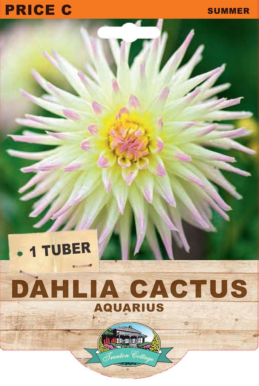 Trenton Cottage Dahlia Cactus Aquarius