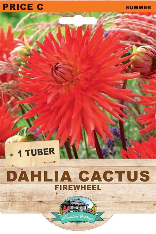 Picture of DAHLIA CACTUS - FIREWHEEL
