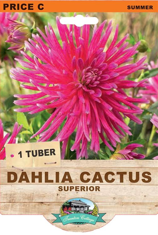 Picture of DAHLIA CACTUS - SUPERIOR