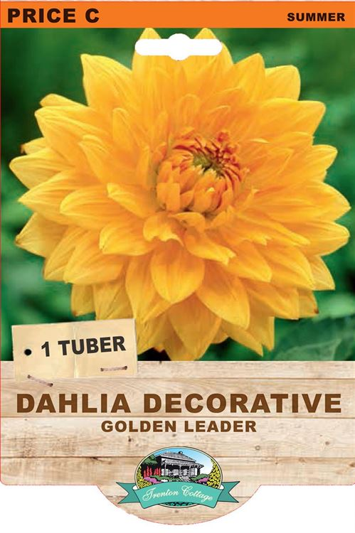 Picture of DAHLIA DECORATIVE - GOLDEN LEADER