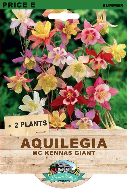 Picture of AQUILEGIA - MC KENNAS GIANT