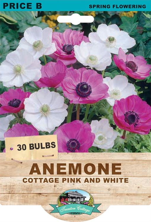 Picture of ANEMONE - COTTAGE PINK & WHITE
