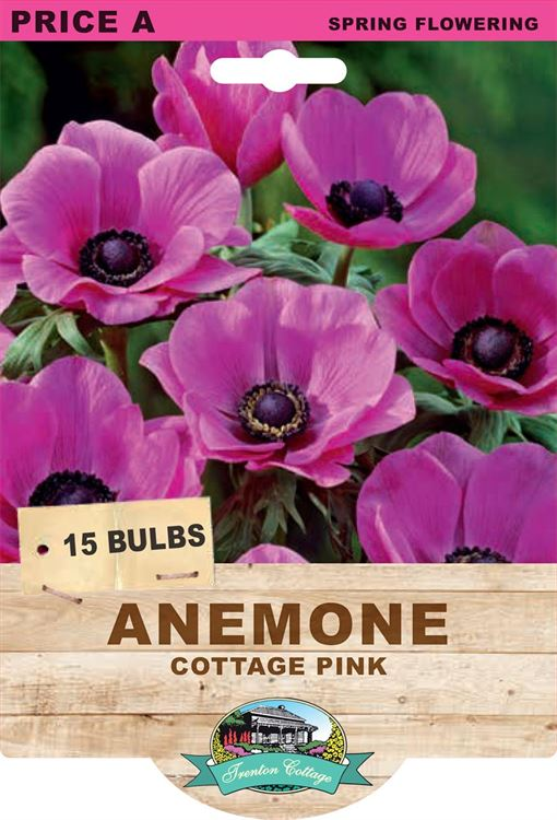 Picture of ANEMONE - COTTAGE PINK