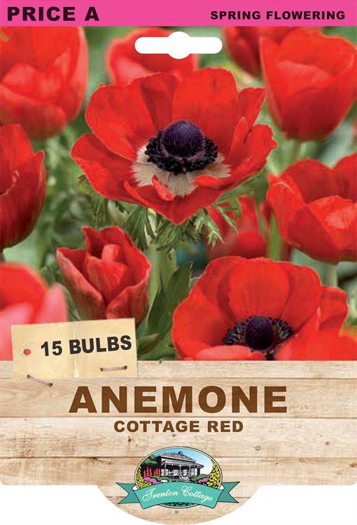 Picture of ANEMONE - COTTAGE RED