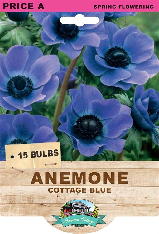 Picture of ANEMONE - COTTAGE BLUE