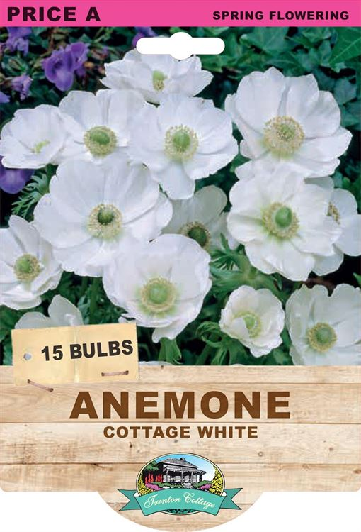 Picture of ANEMONE - COTTAGE WHITE