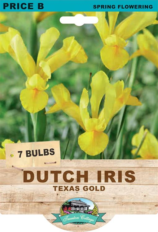 Picture of DUTCH IRIS - TEXAS GOLD