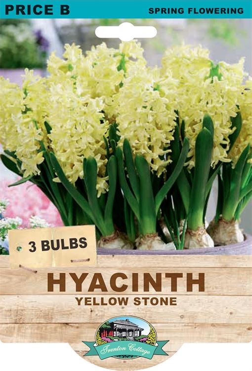 Picture of HYACINTH - YELLOW STONE