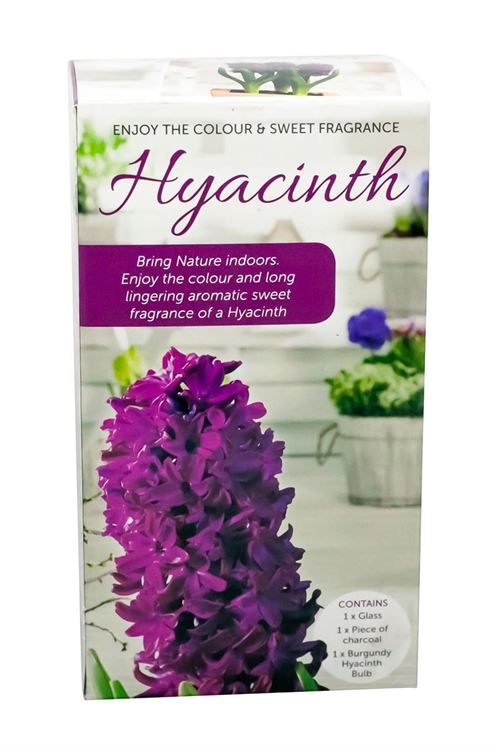 Picture of HYACINTH VASE KITS - PURPLE