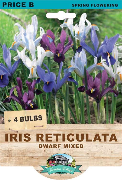 Picture of IRIS RETICULATA - DWARF MIXED