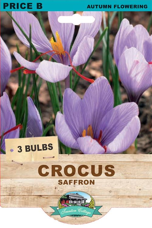 Picture of CROCUS - SAFFRON
