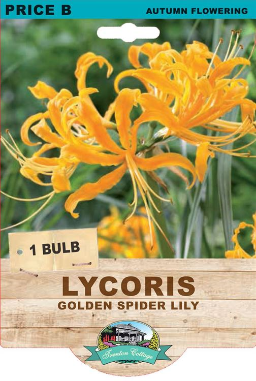 Picture of LYCORIS - GOLDEN SPIDER LILY