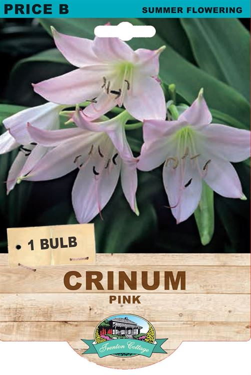 Picture of CRINUM - PINK
