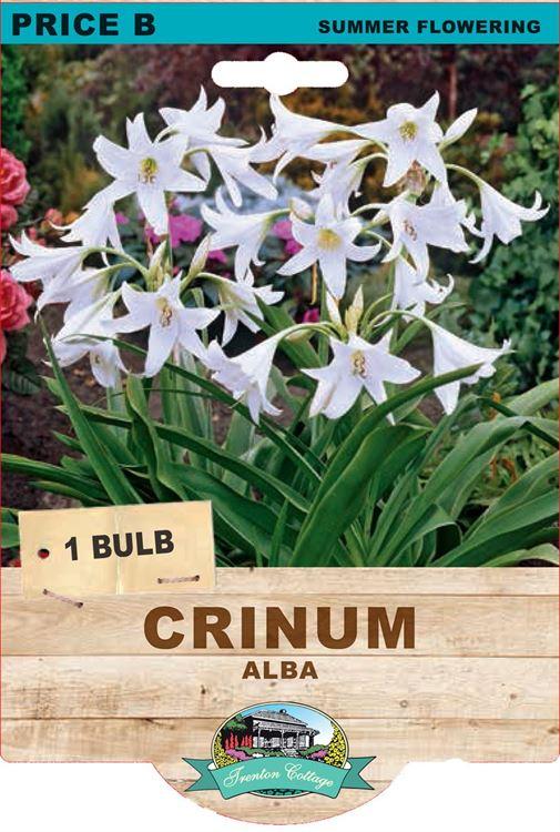 Picture of CRINUM - ALBA