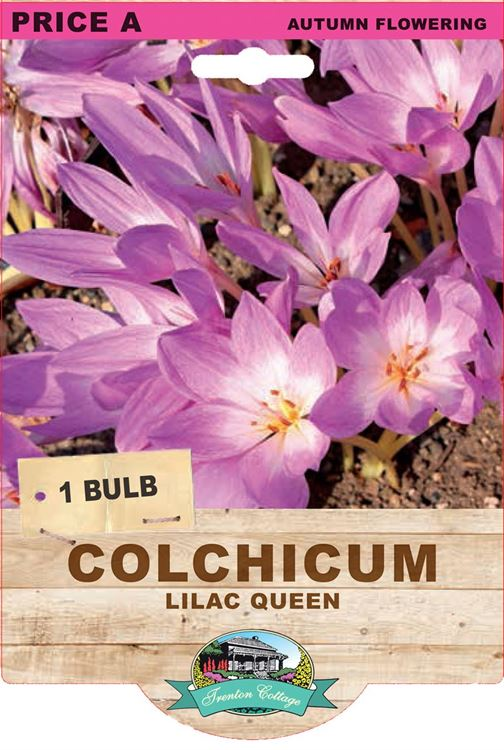 Picture of COLCHICUM - LILAC QUEEN