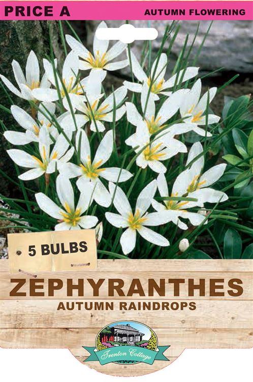 Picture of ZEPHYRANTHES - AUTUMN RAINDROPS