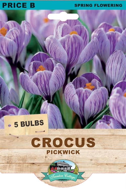Picture of CROCUS - PICKWICK