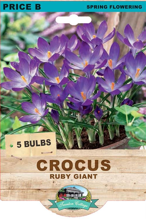 Picture of CROCUS - RUBY GIANT