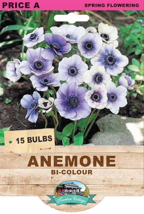 Picture of ANEMONE - BI-COLOUR