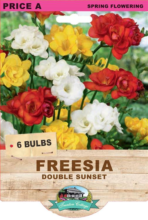Picture of FREESIA  - DOUBLE SUNSET
