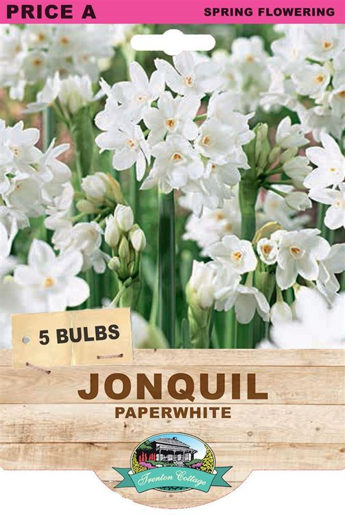 Picture of JONQUIL - PAPERWHITE