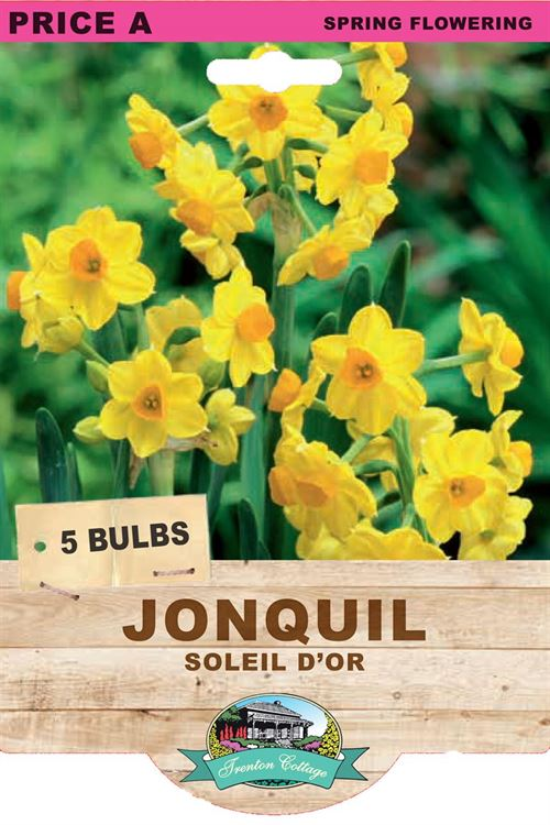 Picture of JONQUIL - SOLEIL D'OR