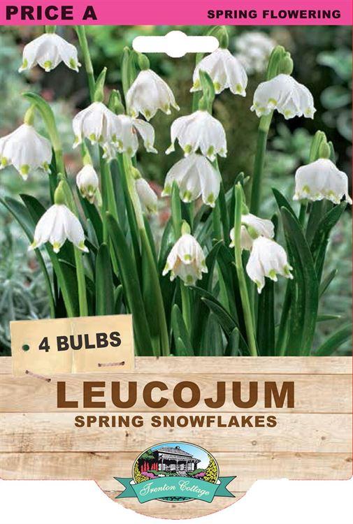 Picture of LEUCOJUM - SPRING SNOWFLAKES