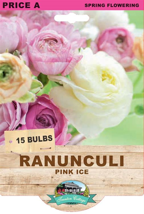 Picture of RANUNCULI - PINK ICE