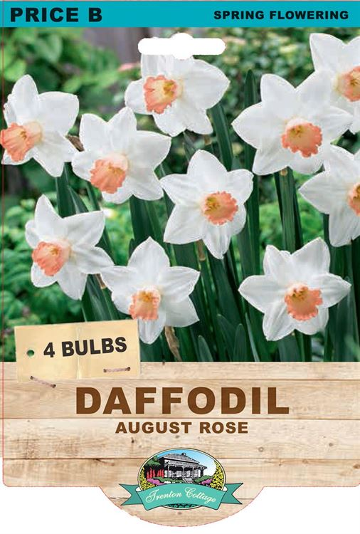 Picture of DAFFODIL - AUGUST ROSE