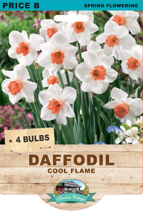 Picture of DAFFODIL - COOL FLAME