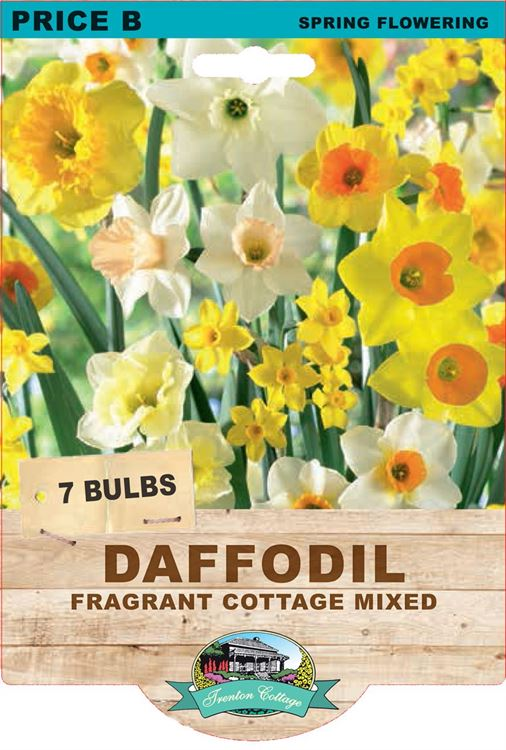 Picture of DAFFODIL - FRAGRANT COTTAGE MIXED