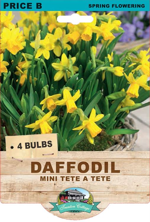 Picture of DAFFODIL - MINI TETE A TETE