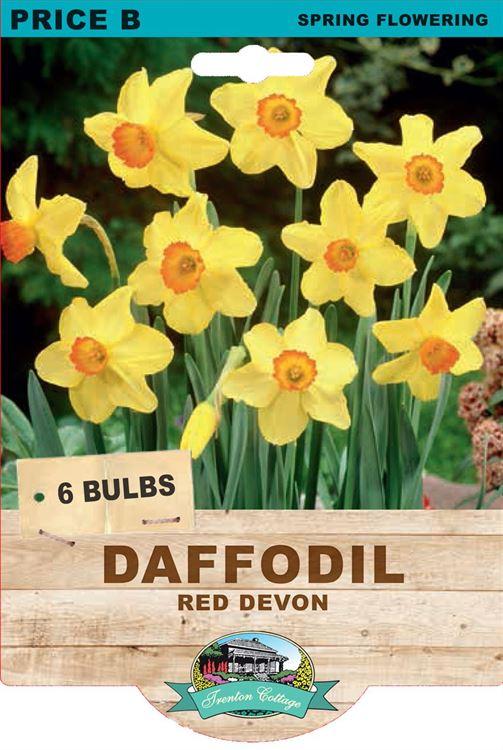 Picture of DAFFODIL - Red Devon