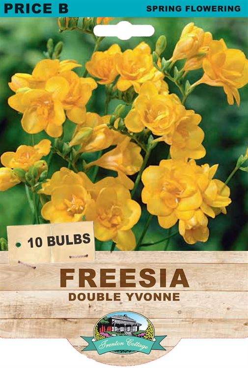 Picture of FREESIA - DOUBLE YVONNE