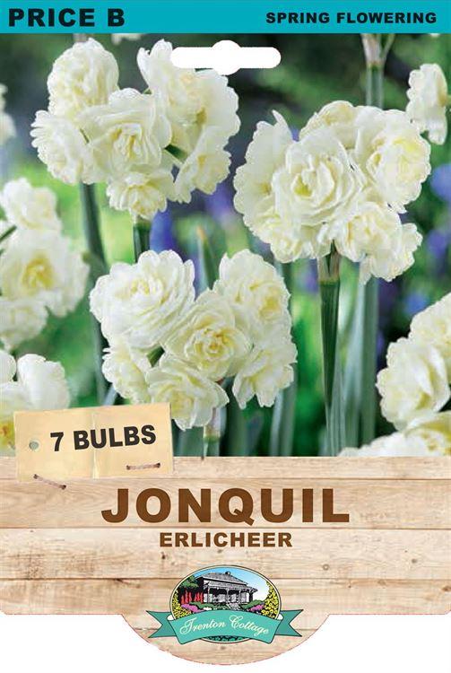 Picture of JONQUIL - ERLICHEER