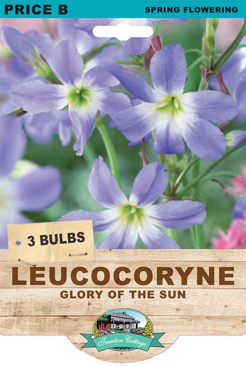 Picture of LEUCOCORYNE - GLORY OF THE SUN