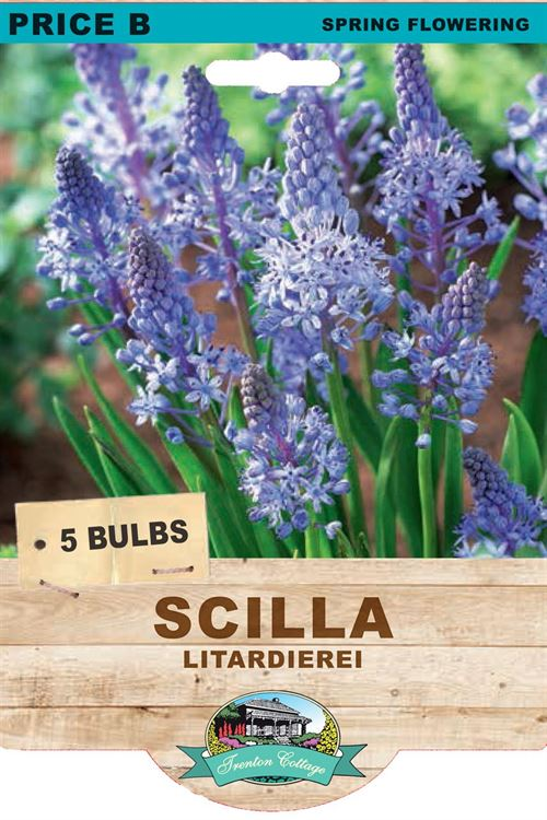 Picture of SCILLA - LITARDIEREI