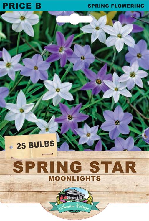 Picture of SPRING STAR - MOONLIGHTS